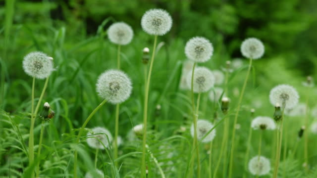 dandelions in the wind - uncultivated stock videos & royalty-free footage