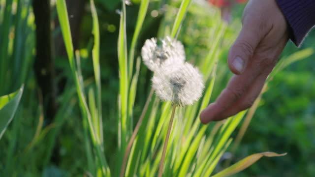 vídeos y material grabado en eventos de stock de diente de león en un día soleado brillante en el jardín formal. joven que trabaja en su jardín durante el brote de pandemia covid-19, cuidando las flores. quédate en casa. - formal garden