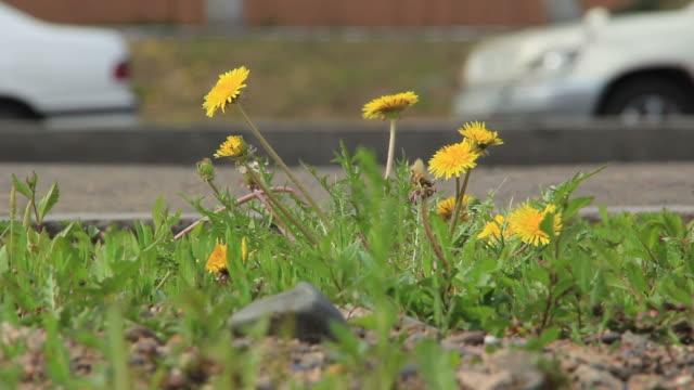 vidéos et rushes de dandelions-цветок у дороги - plante sauvage
