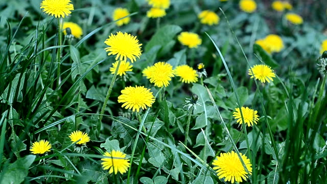 dandelions - montana western usa stock videos and b-roll footage