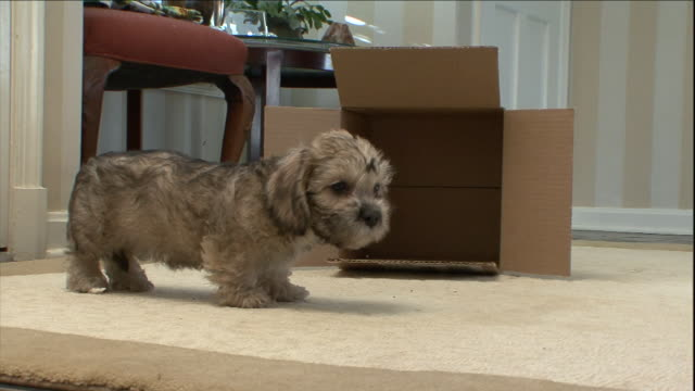 a dandie dinmont puppy crawls out from under a cardboard box. - 子犬点の映像素材/bロール
