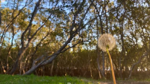 vídeos y material grabado en eventos de stock de dandilion contra el resplandor del sol y los árboles - enfoque en primer plano