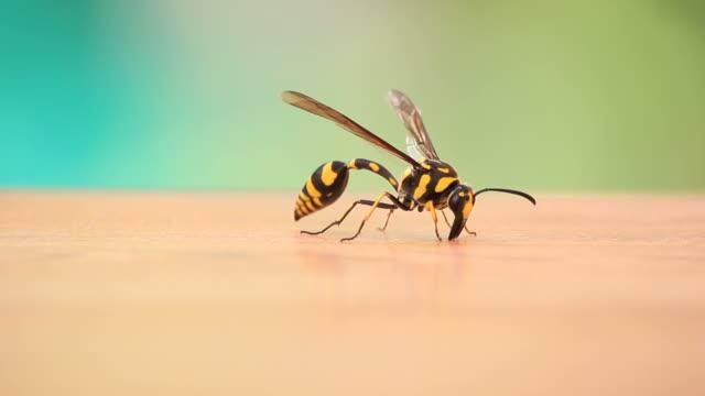 Faran Wasp.