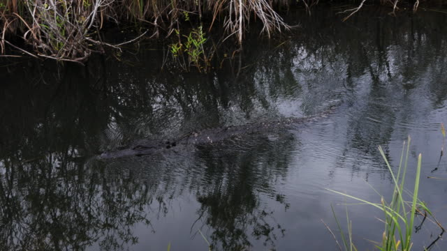 dangerous alligator swimming in the wetlands of the everglades national park. - american alligator stock videos & royalty-free footage