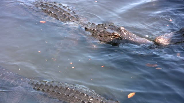 Dangerous Alligators Up Close