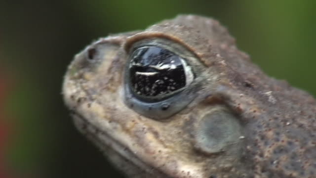 Dangerous Cane toad face