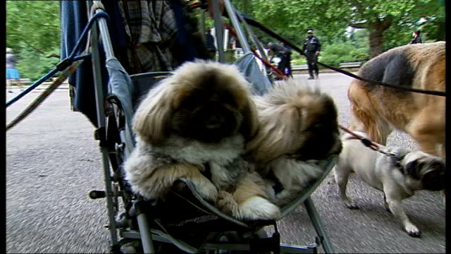 dangerous dog attack victims lobby for government action; england: london: ext woman along as walking several dogs and pushing two in a buggy in... - battersea park stock videos & royalty-free footage