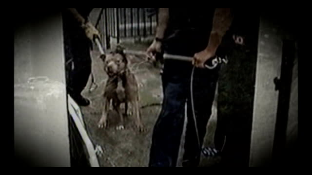 Government launches new guidelines T05010903 / T18031006 London Stafordshire Bull terrier on chain straining to reach owner / Pit bull terrier...