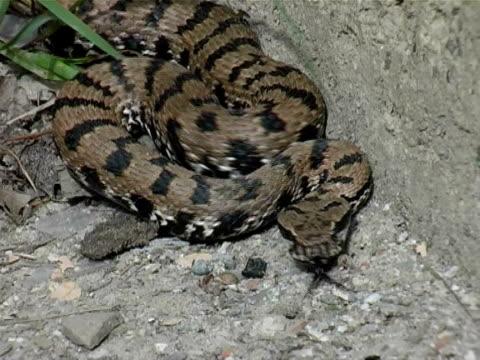 dangerous snake - viper stock videos & royalty-free footage