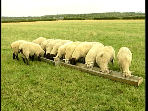 dangers of bse in sheep; lib england ext sheep eating from trough sheep in field bv sheep eating from trough sheep along in pen - trough stock videos & royalty-free footage