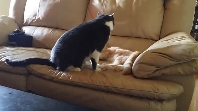 daniel's two cats, rusty and milo, were cuddling and grooming each other on the couch when things took a nasty turn. milo suddenly decided that... - sorghum stock videos & royalty-free footage