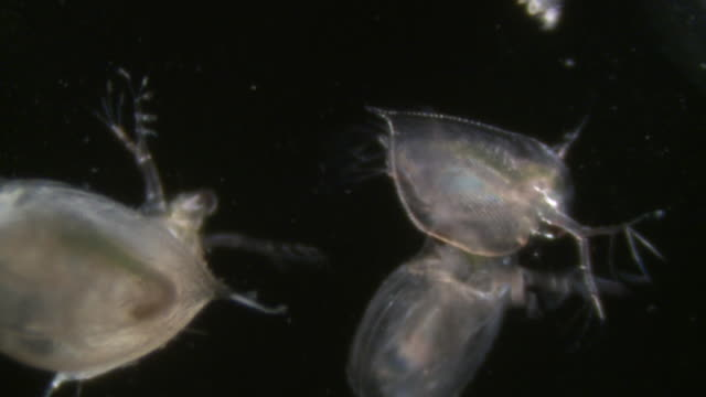 daphnia male grabbing female. endoscope view of daphnia. sony pmw-ex3 full hd video camera with endoscope, horizontal field of view is 3mm and slow motion at 60 fps. - magnification stock videos & royalty-free footage