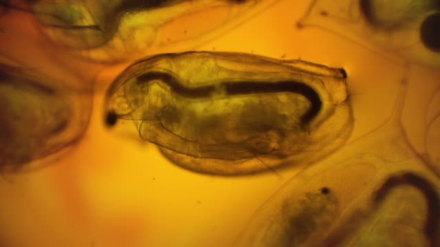 daphnia (water flea) under microscope - micrografia video stock e b–roll