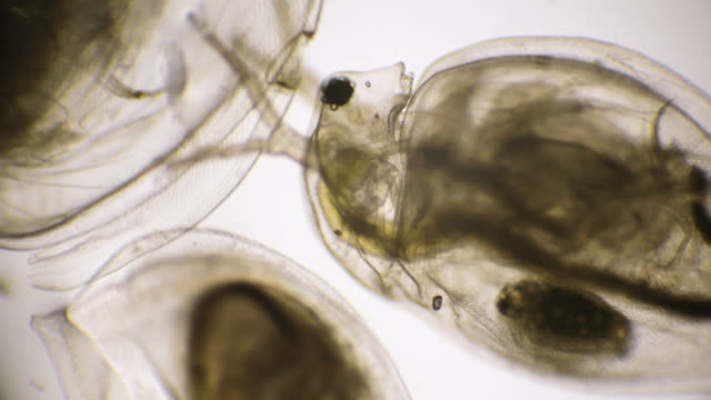 daphnia (water flea) under microscope - magnification stock videos & royalty-free footage