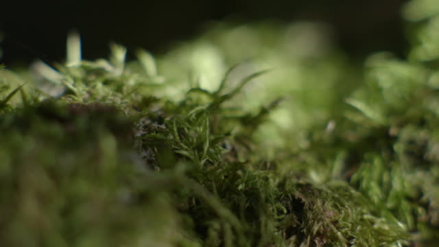 dappled light coming through forest trees dances on richly-green moss-like plants on the forest floor, barrington tops national park, new south wales, australia. - dappled light stock videos and b-roll footage