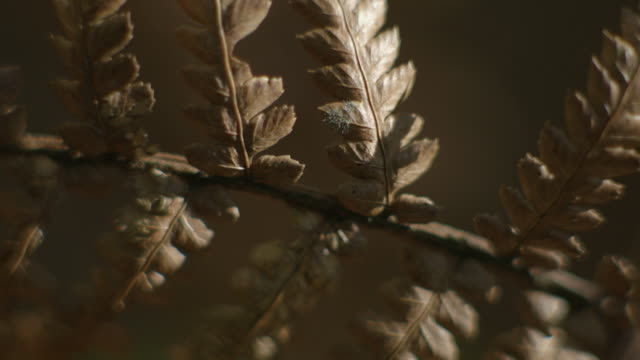 stockvideo's en b-roll-footage met dappled light dances on a dead nothofagus branch with delicate fern-like stems in new south wales, australia. - varenblad