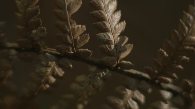 dappled light plays over dead leaves on a plant in a nothofagus forest, barrington tops national park, new south wales, australia. - dappled light stock videos and b-roll footage