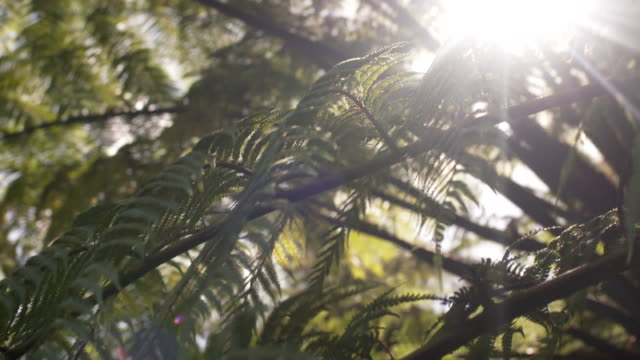 dappled sunlight shining through fronds of silver ponga fern new zealand - fern stock videos & royalty-free footage