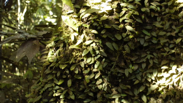 dappled sunlight travels across a tree covered with dense foliage. available in hd. - vine plant stock videos & royalty-free footage