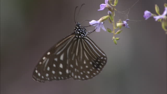 a dark blue tiger butterfly clings to a flower blossom, then flits away. - fragility stock videos & royalty-free footage