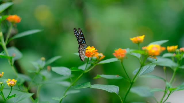 dark blue tiger butterfly feeding on flower - animal colour stock videos & royalty-free footage