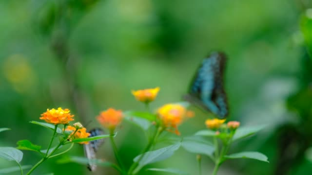 dark blue tiger butterfly feeding on flower - lepidottero video stock e b–roll