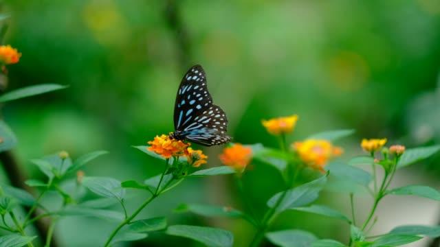 vidéos et rushes de dark blue tiger butterfly feeding on flower - couleur et motif du pelage
