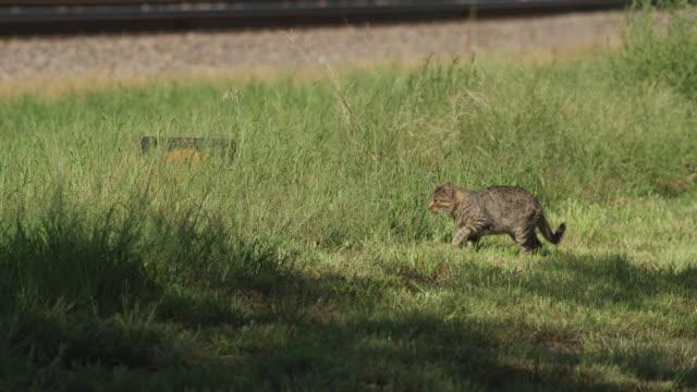 Dark brown feral cat walks along railroad tracks.