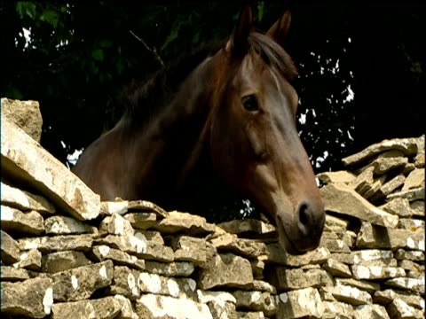 Dark brown horse peers over old stone wall Cotswolds
