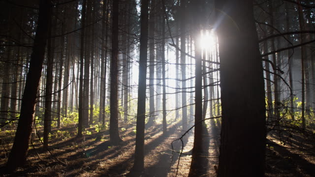 dark coniferous forest - back lit stock videos & royalty-free footage