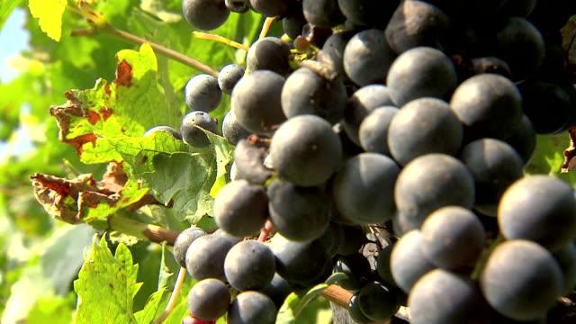 dark grapes - grape stock videos & royalty-free footage
