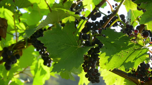 dark grapes - grape leaf stock videos and b-roll footage