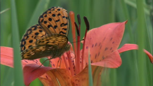 stockvideo's en b-roll-footage met dark green fritillary butterfly (argynnis aglaja) feeds from lily flower, changbaishan national nature reserve, jilin province, china  - vlinder