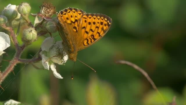 dark green fritillary butterfly (speyeria aglaja), south downs - hügelkette stock-videos und b-roll-filmmaterial