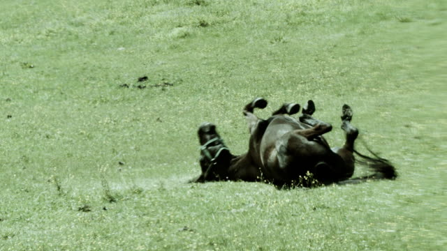 Dark horse rolling on the meadow. Playful mood