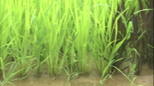 dark red and bright green rice plants grow in a rice paddy. - asahikawa stock videos & royalty-free footage