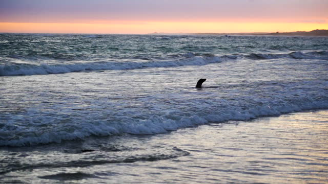 a dark seal frolics in waves on beach in front of glorious sunset - galapagos islands, ecuador - water's edge stock videos & royalty-free footage