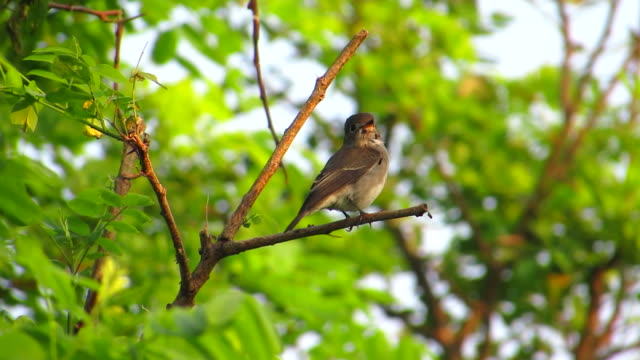 dark sided flycatcher clean feather - invertebrate stock videos & royalty-free footage
