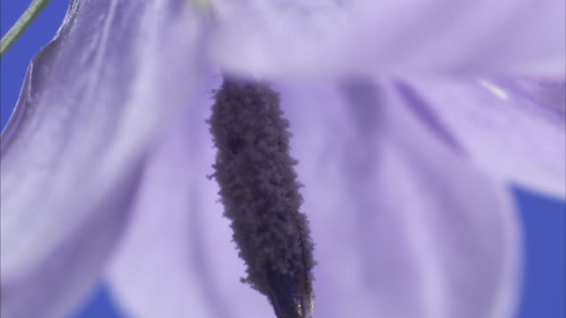 A dark stamen hangs from the middle of a pale purple flower. Available in HD