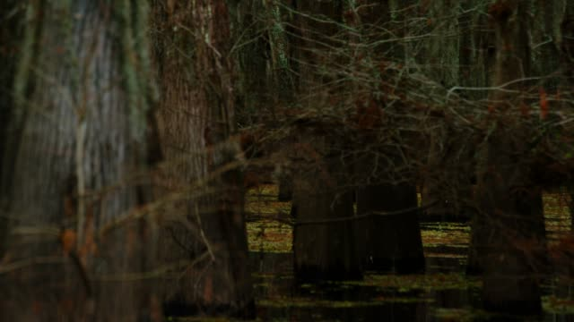 vídeos de stock e filmes b-roll de dark, thick cypress tree forest covered in spanish moss in the atchafalaya river basin swamp in southern louisiana under an overcast sky - território selvagem