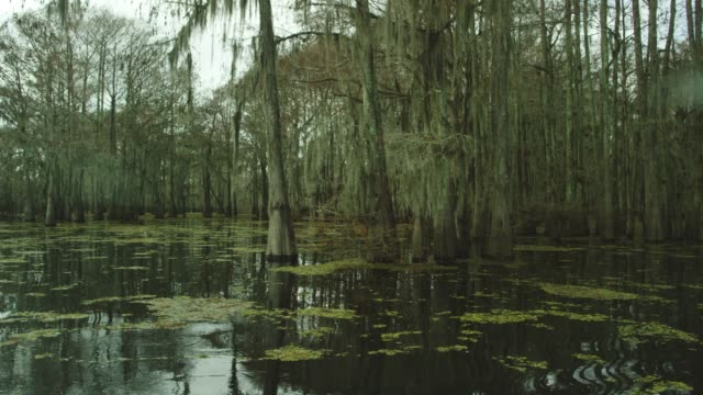 dark, thick cypress tree forest covered in spanish moss with floating salvinia in the atchafalaya river basin swamp in southern louisiana under an overcast sky - bog stock videos & royalty-free footage