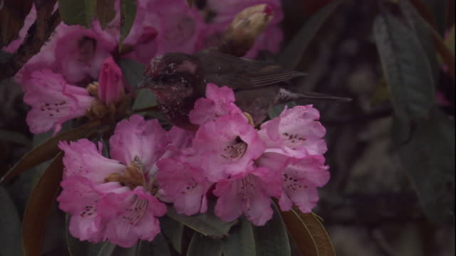 dark-breasted rosefinch feeds on rhododendron blooms, himalayas, nepal available in hd - rhododendron stock videos and b-roll footage