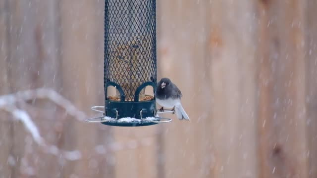 dark-eyed junco at the bird feeder - falls church stock videos & royalty-free footage