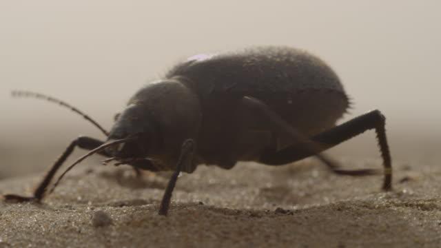 darkling beetle (tenebrionidae) on desert sand dune, uae - beetle stock videos & royalty-free footage