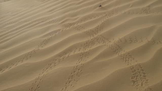darkling beetle (tenebrionidae) walks over desert sand dune, uae - sand stock videos & royalty-free footage