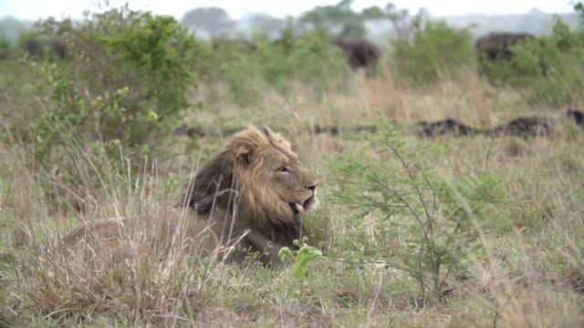 dark-maned male lion turns and looks towards the camera in slow motion, kruger national park, south africa - provinz mpumalanga stock-videos und b-roll-filmmaterial