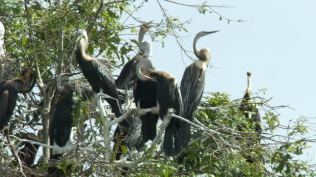 darter colony, cambodia. - medium group of animals stock videos & royalty-free footage