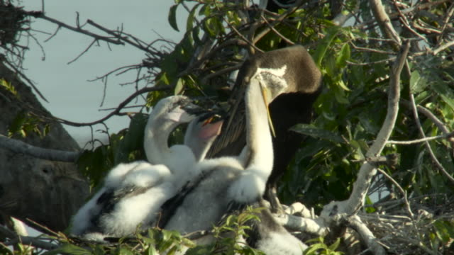 darter feeds chicks in tree, cambodia. - small group of animals stock videos & royalty-free footage