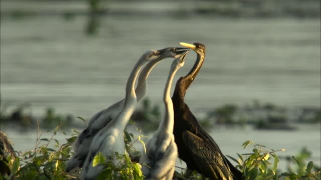 darter feeds chicks in tree, cambodia. - kleine gruppe von tieren stock-videos und b-roll-filmmaterial