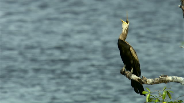 darter perched on branch, cambodia. - lake stock videos & royalty-free footage